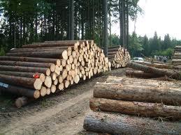 Gỗ nguyên liệu: Tăng diện tích rừng trồng